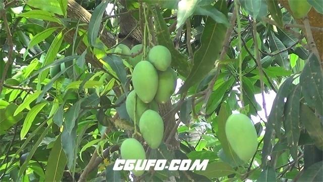 2261热带水果大芒果园青芒果枝头挂满果实绿油油树林高清视频实拍