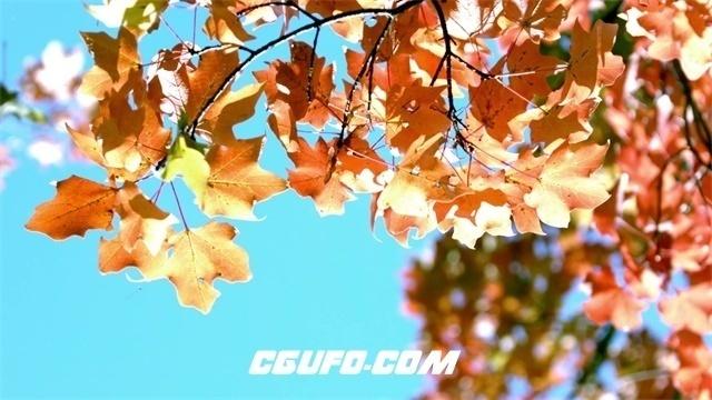 2262秋季天空枫树叶子飘落自然现象植物生长景色高清视频拍摄