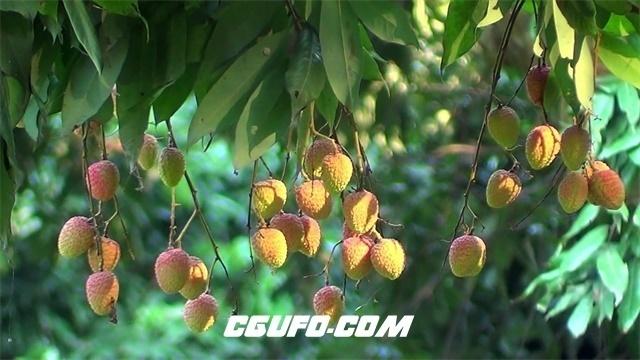 2285荔枝树果园岭南荔枝成熟枝头挂满通红果实水果高清视频拍摄