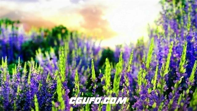 2422-清晨唯美景色薰衣草园向日葵蒲公英大树高清视频实拍