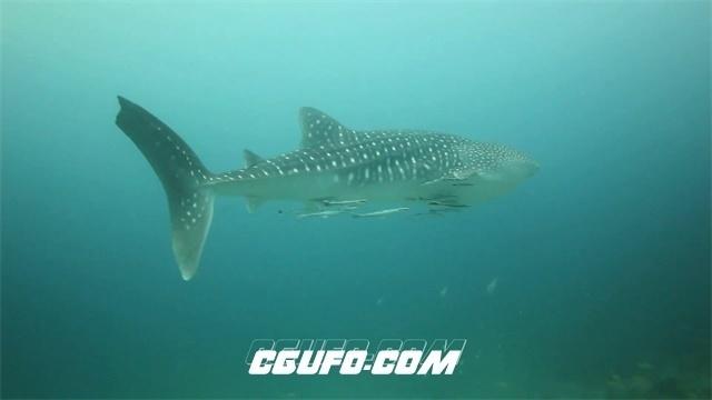 2435-深海斑点鲨鱼海底漫游实拍高清视频素材
