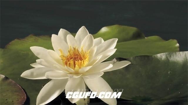 2505-唯美荷花慢动作绽放鲜花植物生长过程近距离高清视频延时拍摄