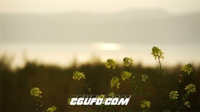 2509-唯美河岸植物油菜花变焦高清微距实拍