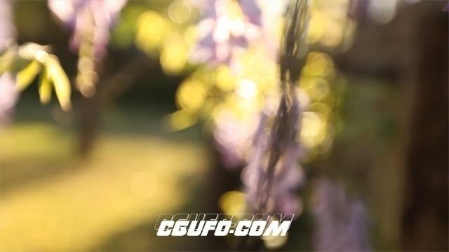 2510-唯美浪漫夕阳下小清新紫藤花空镜头缤纷紫藤花高清实拍视频素材