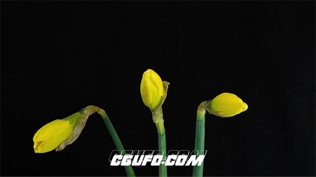 2683-灿烂唯美黄色水仙花植物生长绽放花朵全过程高清实拍视频素材
