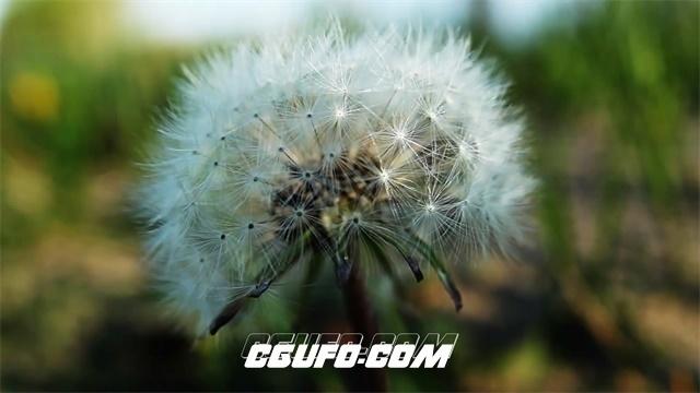 2720-特写唯美蒲公英绽放魅力虚化背景风吹摇摆植物高清实拍视频素材