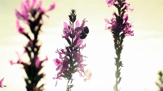 2732-光线映射植物花朵蜜蜂采集花瓣变焦特写唯美高清实拍视频素材