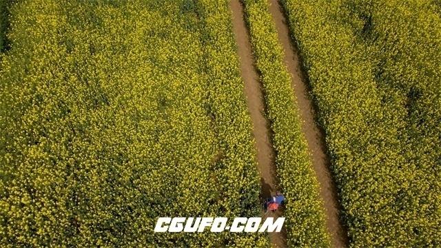 2956-丰收季节遍地唯美金黄油菜花人物行走植物生长高空航拍高清实拍视频素材