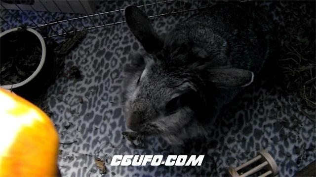 2960-家中笼养饲养可爱黑色兔子主人喂食苹果动物饮食生活高清实拍视频素材