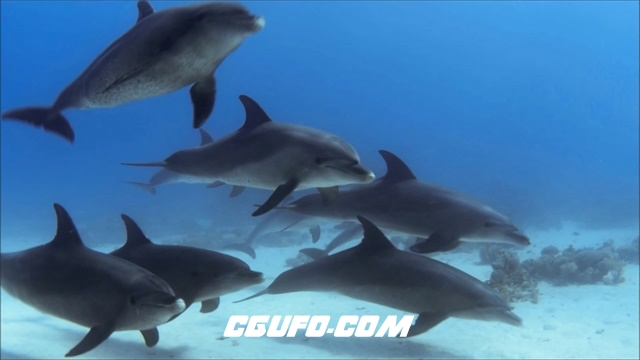 2993-海洋生物群居动物海豚深海自由畅游身体摆动动物姿态高清视频拍摄