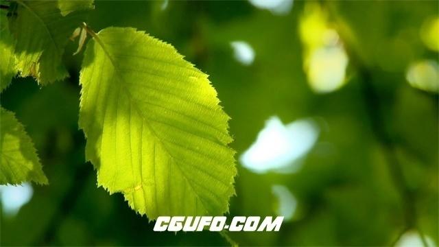 2999-阳光照耀绿色树叶微风摇摇欲动树叶纹理透光清晰可见植物高清实拍视频素材