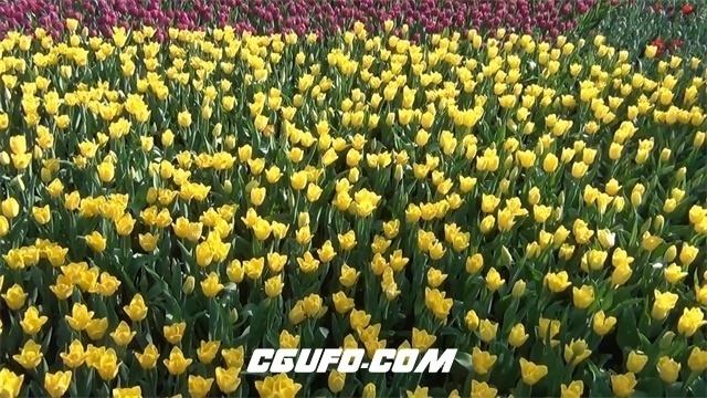 3000-争艳斗美花园一片片五颜六色缤纷色彩郁金香花海植物高清实拍视频素材