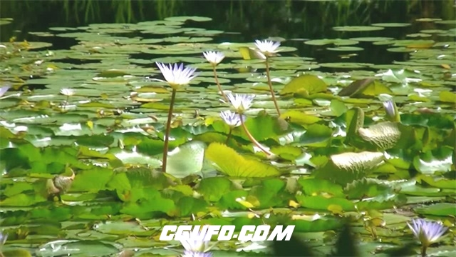 3304-明媚阳光照射湖泊水上白睡莲荷叶植物静态延时镜头高清实拍视频素材