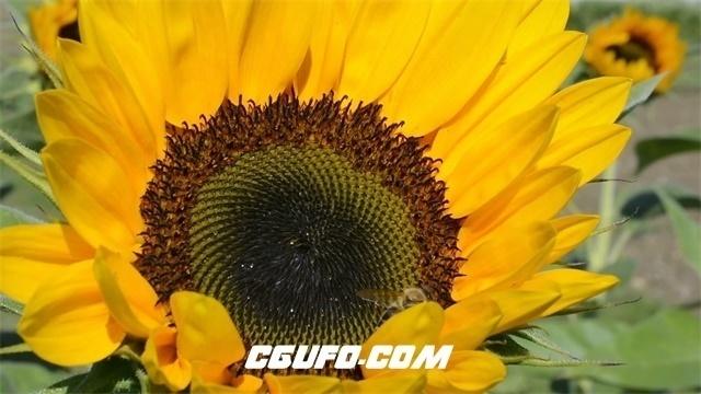 3444大自然蓝天白云向日葵蜜蜂飞舞采蜜高清实拍视频素材