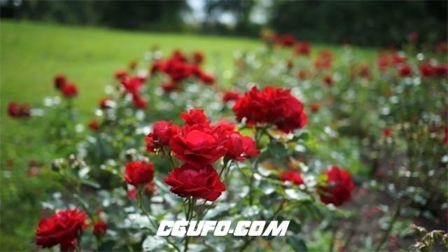 3479-公园草地种植艳丽玫瑰鲜花近距离特写拍摄花丛高清实拍视频素材