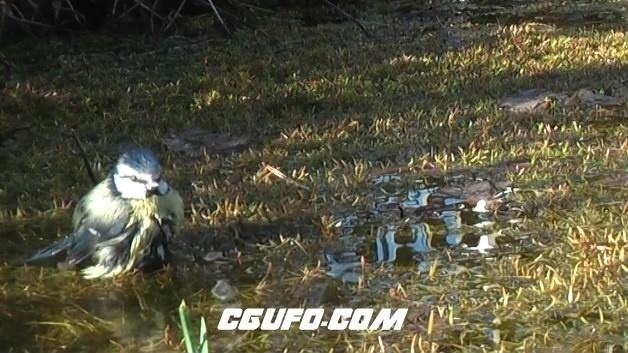 3863小麻雀喝水高清实拍视频素材