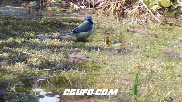 3864小麻雀喝水高清实拍视频素材